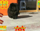 自营肉肉松狮精品幼犬 可爱温顺乖巧健康纯种
