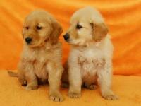 武汉狗狗之家长期出售高品质金毛 拉布拉多 比格 比熊售后无忧