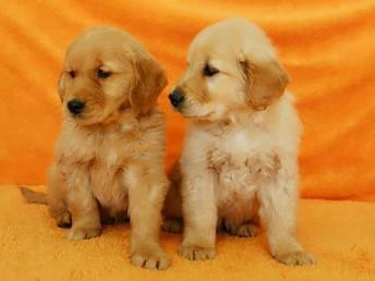 西安狗狗之家长期出售高品质金毛 吉娃娃 松狮 比格 售后无忧