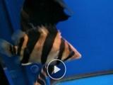 出印尼虎鱼三条