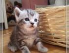 北京市最大养殖基地赛级 美短幼猫 质保三年亲选可送货签署合同