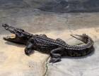 鳄鱼养殖行业问题分析