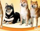 正规大型养殖基地繁育**柴犬双血统柴犬出售