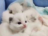 活泼可爱的布偶猫宝宝繁殖纯血统包健康
