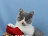 本地猫舍繁育 纯种正八字英短 蓝白幼猫