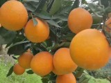 樱桃病虫害 樱桃红颈天牛的防治 绿帐天牛药价格果树病虫害