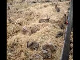 杂交野兔多少钱一只,如何养殖杂交野兔