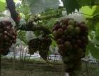 錫北 八士文八路 土地 4.6畝葡萄園轉讓或轉租