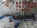供应澳洲淡水小龙虾