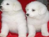 出售纯种大白熊犬活体宠物狗狗大白熊幼犬巨型大白熊小狗崽宠物狗