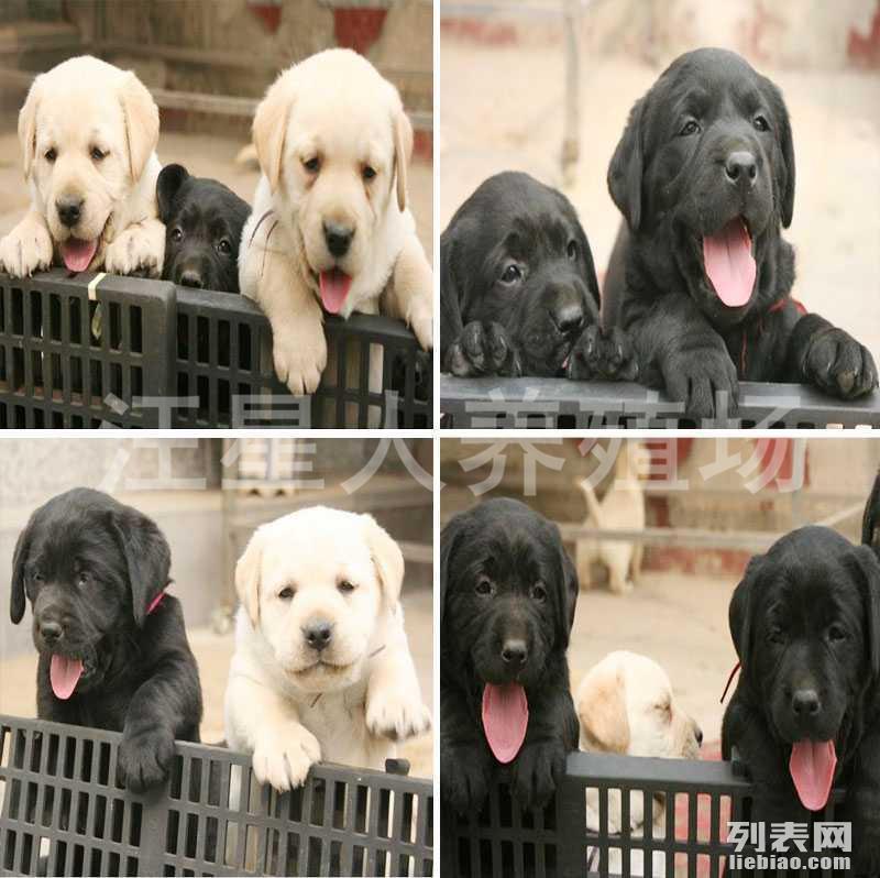 中山地区最大养殖场 出售世界名犬 可签协议 可送货上门