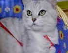 英短猫咪找女朋友