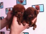 佛山纯种贵宾犬价格多少钱一只 佛山在哪里有卖纯种贵宾犬