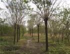 乌海12公分皂角树价格单价是多少