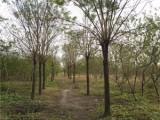 泰安20公分白蜡树基地规格尺寸全