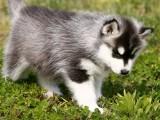 高品质三把火哈士奇犬宝石蓝眼睛纯种健康签协议