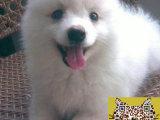 哪里出售纯种银狐犬,日本尖嘴 便宜多少钱