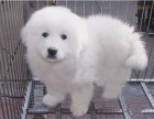纯种骨架高大大白熊宝宝出售毛色漂亮活泼可爱包健康