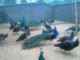 蓝孔雀孔雀苗孔雀养殖网孔雀苗孔雀养殖蓝孔