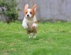 纯种柯基犬,颜色品种齐全证健康纯种