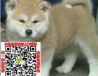 徐州正宗日系柴犬哪里有卖健康纯种健康的柴犬