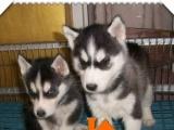 三把火蓝眼睛纯种健康哈士奇幼犬,可来场挑选