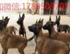 真正的护卫犬-比利时马犬出售两个月公母全有
