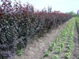 山东红叶李种植基地大量供应红叶李树苗
