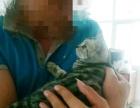 自家美短母猫找新主人