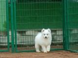 微笑天使 熊版萨摩耶雪橇犬 自家繁殖双眼皮萨摩
