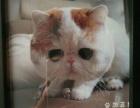 各种品种猫出售或配种,有加菲折耳美短英短