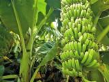 香蕉抽蕾前要施肥好