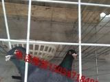 肉鸽价格种鸽养殖场鸽子养殖技术