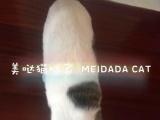 苏格兰折耳 棕虎斑 梵文 种公 甜美型 性格超黏人