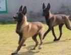 马犬价格全国最低 马犬多少钱一只 加微信送豪礼