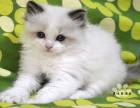 出售CFA双血统布偶猫 蓝双 海双公母