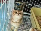 自家繁殖**孟加拉豹猫-纯正血统出售--请来电