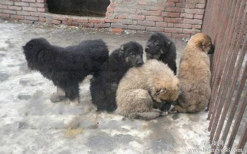 常年出售肉狗苗 自家养殖的 包健康 可以上门看狗 价格低