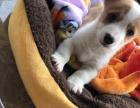 自家柯基宝宝一枚,由于不能养宠物,望理解让它有个家