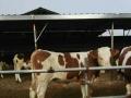 供应品种肉牛牛犊