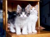 南宁正八蓝白 五粉蓝白 宠物猫出售 猫咪包纯包健康