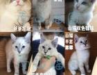 CFA南山猫苑布偶猫