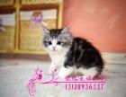美短虎斑 起司猫 美短加白 美国短毛猫幼猫(包纯种健康)