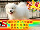 八折优惠 萨摩耶犬 当时化验健康签协议