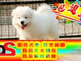 """八折优惠 萨摩耶犬 当时化验健康""""签协议"""