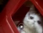 家养加菲猫公子出售