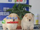纯血统精品松狮幼犬多窝出售公母均有 签保障协议