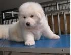沈阳本地犬舍出售纯种幼犬 大白熊 血统纯正,保证健康
