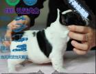 纯种法国斗牛犬 黑色花色奶油奶白色都有 签协议售后