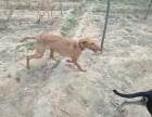 出售灵缇幼犬,公母均有,血统纯正,欢迎选购